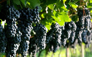 grape seed extract for sale- Lyphar.jpg